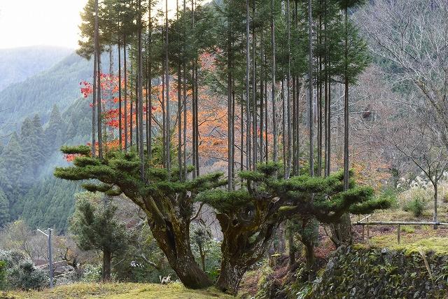 daisugi-japanese-cedars